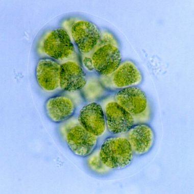 霞ヶ浦に出現する緑藻類パンドリナ