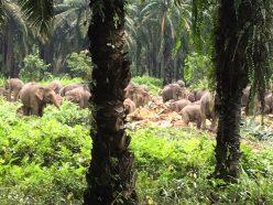 アブラヤシ農園の中のゾウの群れ